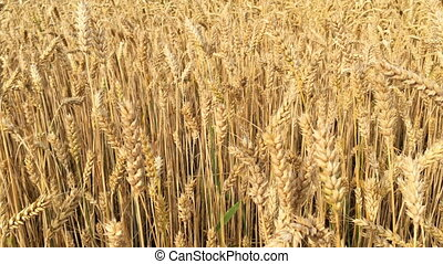 Wheat field. Ears of ripening wheat, rye or other cereal plant, swinging in the wind on the field. Concept of Rich harvest or agricultural production. Selective focus.