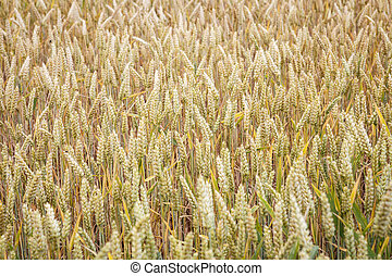 Wheat field. Ears of wheat close up. Background of ripening ears of meadow wheat field. Rich harvest concept.
