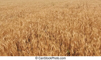Wheat Field. Ears of wheat close up. Harvest and harvesting...