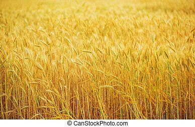 Wheat Field Farmland
