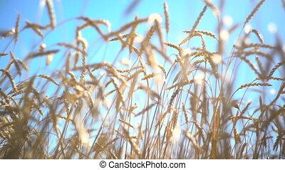 Wheat Field Growing