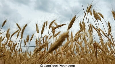 Wheat Field. Harvest and harvesting concept. Field of golden...