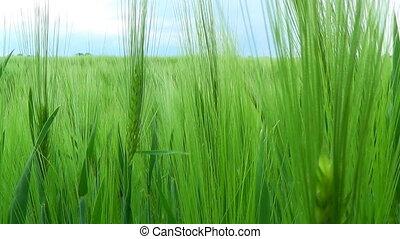 Wheat Field. HD shot with motorized slider.