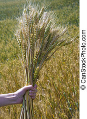 wheat field in a hand