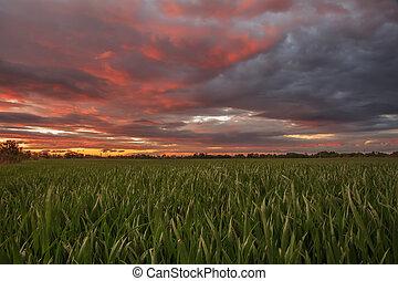 Wheat field in red skay