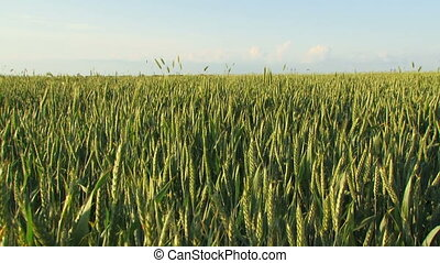 Wheat field in spring