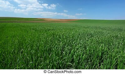 Wheat field in spring, vibrant green and blue sky with cumulus clouds