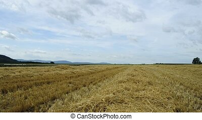 wheat field in summer wind