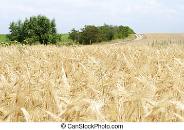 Wheat field. In the background of a country road.