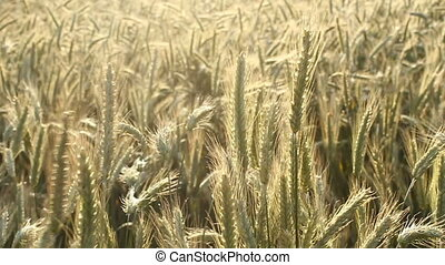 Wheat field in the sun