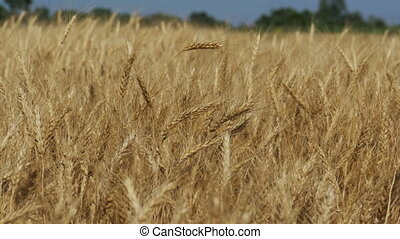 Wheat Field in the Village - Wheat field in the village....