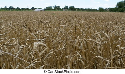 Wheat field in the village. Yellow golden wheat swayed in...