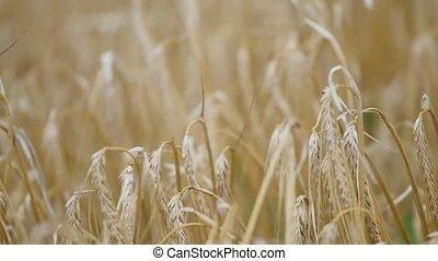 wheat field in the wind. slow motions.