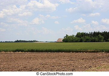 A Wheat Field with dirt, trees, bluesky, and white clouds.
