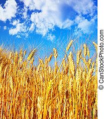Wheat field landscape, closeup on rye over blue sky, nature...