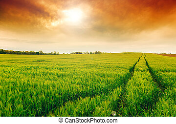 Wheat field landscape with path