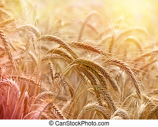 Wheat field lit by sunlight in late afternoon