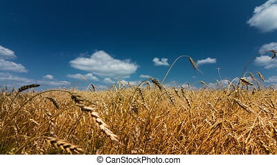 Wheat - Field of wheat under the blue sky. Time lapse.