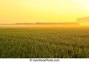 wheat field on a foggy spring morning.
