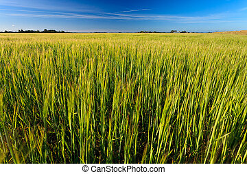 Wheat field on a sunny day