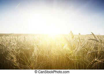 Wheat field on a Sunset.