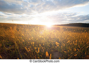 Wheat field on a sunset