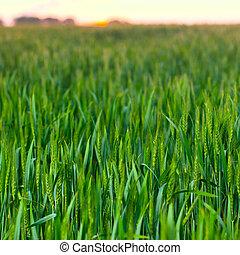 Wheat field on sunset background.