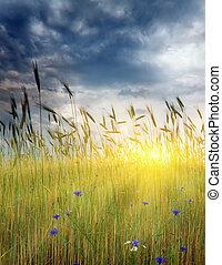 wheat field on sunset.
