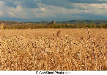 wheat field on sunset