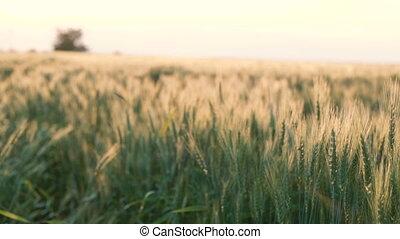 Wheat field on white sky horizon