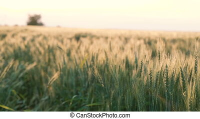 Wheat field on white sky horizon