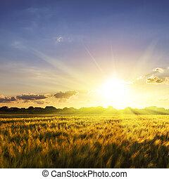 Wheat field over sky with sundown. Nature landscape