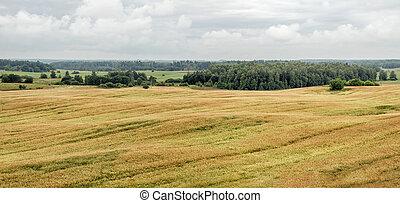 Wheat field panorama