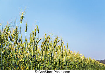 Wheat field ready for harvest growing and blue sky