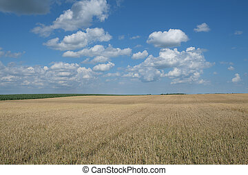 Wheat field ready for harvest in early summer