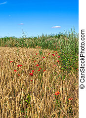 Wheat Field Red Poppies