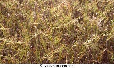Wheat field. ripe stalks swaying in the wind.
