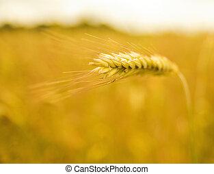 Wheat field (shallow DoF)