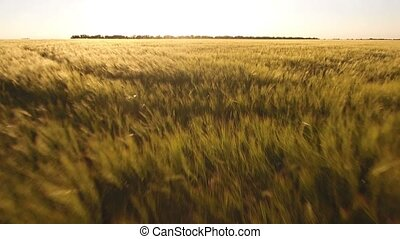 Wheat field shot from a low flying drone in Eastern Europe...