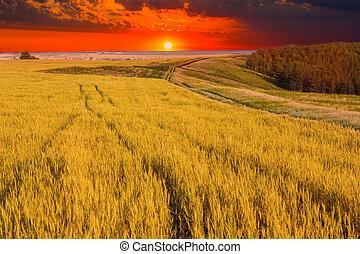 Wheat field sky landscape summer nature sunset tree farm sun
