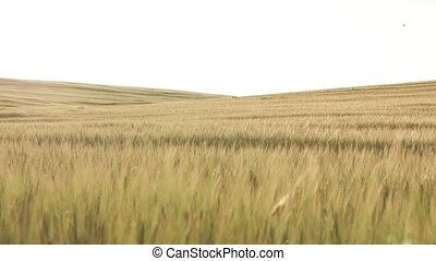 Wheat Field slow dolly shot - Gold field of wheat and the...