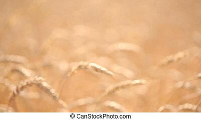 Wheat field. stalk close-up. ripe ears of corn
