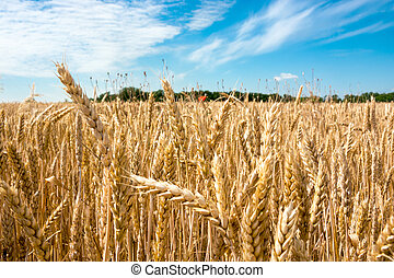 Wheat field, summer landscape