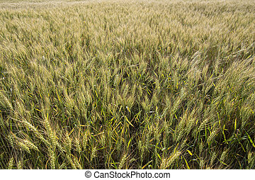 Wheat field Triticum in the countryside. Rich harvest.