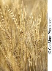 Wheat field, Tuscany, Italy. - Field of wheat plants growing...