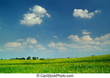 wheat field under a blue sky with white clouds