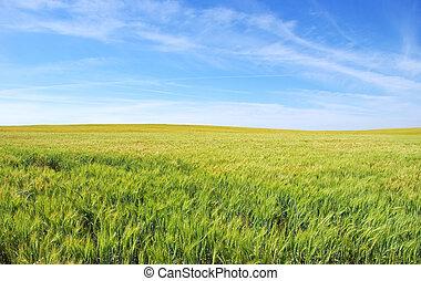 wheat field under a blue sky
