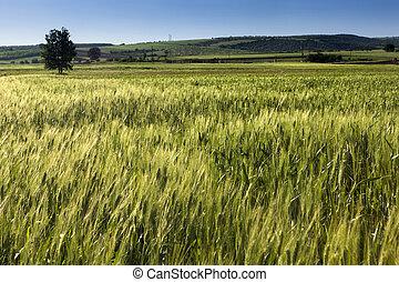 Wheat field under blue sky, on summer.