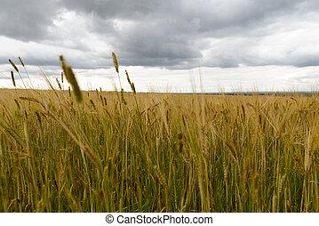 Wheat field under rain