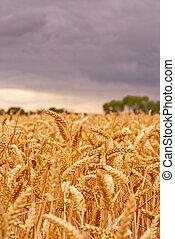 Wheat Field under Stormy Sky